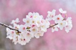 cherry-blossoms-2218781_640
